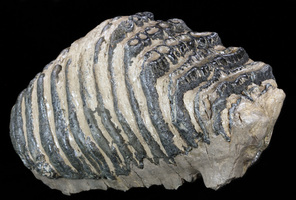 About Mammoth Molars