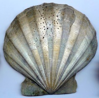 Virginia State Fossil - Scallop (Chesapecten jeffersonius)