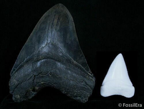 Megalodon vs. Great White tooth size