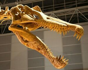 A reconstructed Spinosaurus skull showing tooth placement.
