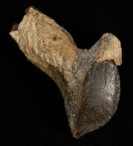 A rooted Triceratops tooth, approximately 2 inches long.