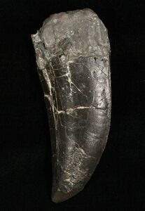 A large Allosaurus tooth from Morrison Formation of Colorado.