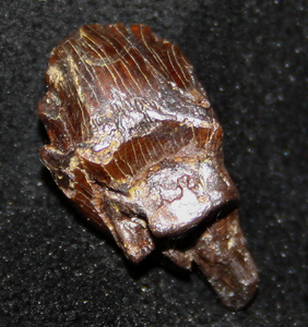 "A leaf shaped tooth of Ankylosaurus, less that 1/2"" long ."