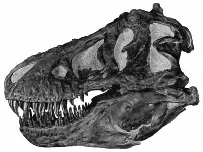 Profile view of a skull (AMNH 5027). The largest known Tyrannosaurus rex.