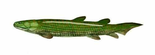 Artists reconstruction of Osteolepis. Creative Commons, by Nobu Tamura (http://spinops.blogspot.com)