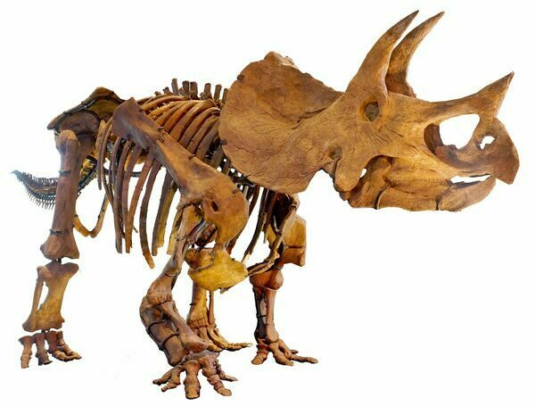 Mounted skeleton of a triceratops at the at Los Angeles Museum of Natural History.