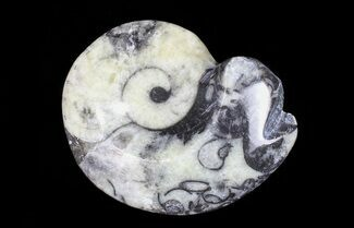 "1 1/2 - 2"" Polished Fossil Goniatite - One Piece"