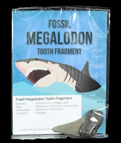 "Real Fossil Megalodon Partial Tooth - 3"" Size - Photo 1"