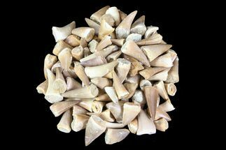 Wholesale Lot: Small Fossil Mosasaur Teeth - 100 Pieces