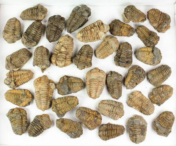 "Wholesale: 1 1/2 to 2 1/2"" Calymene Trilobite Fossils - 100 Pieces - Photo 1"