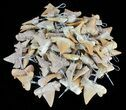 Wholesale: Wire Wrapped Fossil Shark Tooth Pendants - 100 Pieces - Photo 2