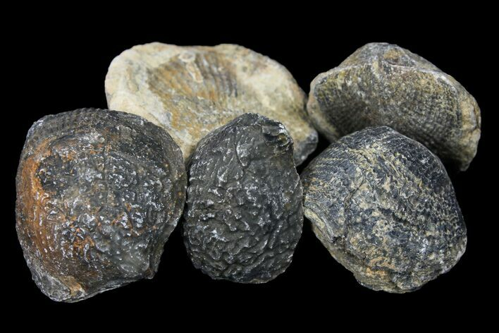 Bulk Fossil Brachiopod - 5 Pack - Photo 1