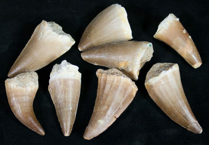 "1"" Fossil Mosasaur Teeth - Single Tooth - Photo 1"