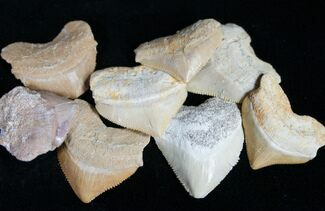 Bulk Fossil Squalicorax (Crow Shark) Teeth - 10 Pack