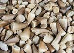 Bulk Fossil Mosasaur Teeth - 25 Pack - Photo 2