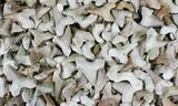 Bulk Fossil Otodus Shark Teeth - 3 Pack - Photo 2