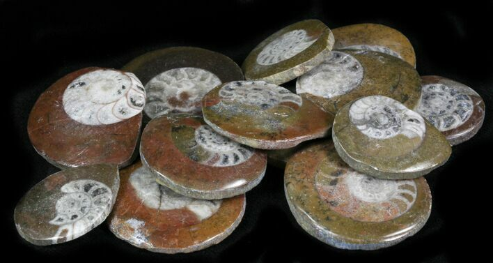 "Bulk Polished Fossil Goniatite ""Button"" - 5 Pack - Photo 1"