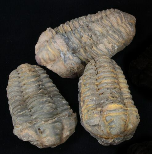 Bulk Large Calymene Trilobite Fossils - 25 Pack - Photo 1