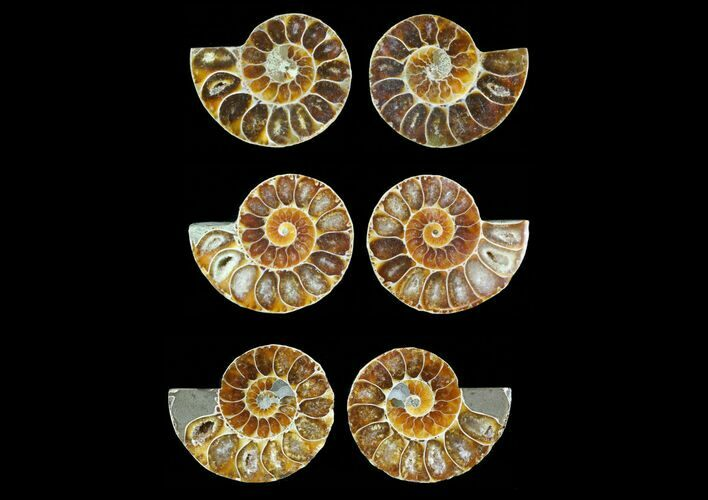 Bulk Small Cut, Agatized Ammonite Fossils - 5 Pack  - Photo 1