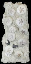 "Buy 22"" Spectacular Fossil Sand Dollar Cluster With Whale Bone - #22840"