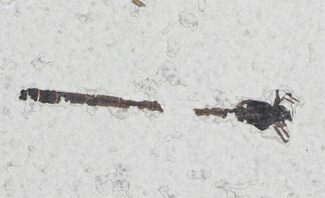 "Buy 2.15"" Fossil Damselfly - Green River Formation, Wyoming - #23299"