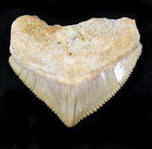 Buy Nice Squalicorax (Crow Shark) Fossil Tooth - #23482