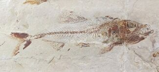 "5.7"" Cretaceous Fossil Fish (Spaniodon) - Part/Counterpart For Sale, #24125"