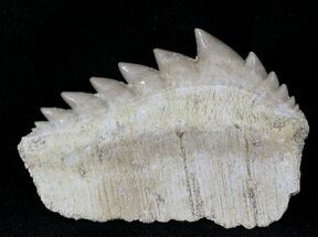 Hexanchus agassizi - Fossils For Sale - #24501