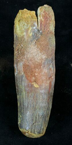 "Large 3.95"" Spinosaurus Tooth"