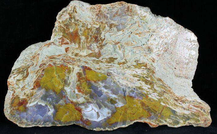 "Brillaint 13.6"" Jurassic Petrified Wood Slab - Henry Mountain"