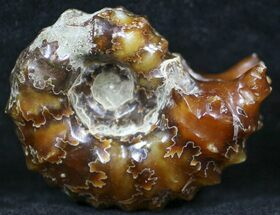 "Polished, Agatized Douvilleiceras Ammonite - 2.1"" For Sale, #29285"