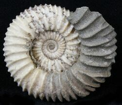 Pavlovia raricostata - Fossils For Sale - #29718