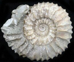 "1.9"" Pavlovia Ammonite Fossil - Siberia, Russia For Sale, #29759"