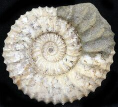 Pavlovia raricostata - Fossils For Sale - #29760