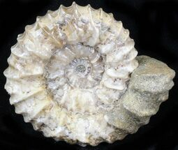 Pavlovia raricostata - Fossils For Sale - #29763
