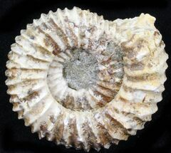 "1.65"" Pavlovia Ammonite Fossil - Siberia, Russia For Sale, #29765"