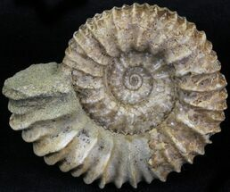 Pavlovia raricostata - Fossils For Sale - #29781