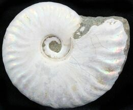 "1.7"" Silver Iridescent Ammonite - Madagascar For Sale, #29864"