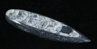Buy Polished Orthoceras (Cephalopod) Fossil - #3742
