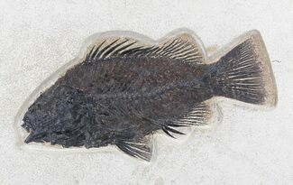 "Huge 9.4"" Priscacara Serrata Fossil Fish - 18 Inch Layer For Sale, #30746"