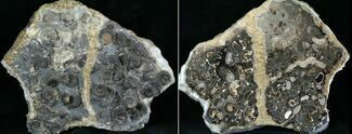 "6"" Marston Magna Ammonite Cluster - Polished on Back For Sale, #30743"