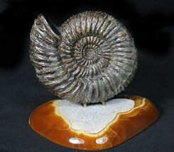 "Buy 5.6"" Russian Ammonite (Speetoniceras) With Agate Base - #31372"