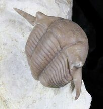 Buy Big Thaleops Trilobite From Wisconsin - World Class Specimen - #31720