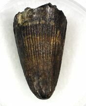 "Buy Nice .95"" Deinosuchus Tooth - Javelina Formation, Texas - #33211"