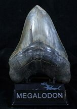 Buy Huge 6.23 Inch Megalodon Tooth - Sharp - #3913