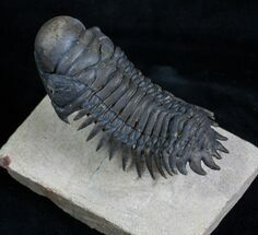 Buy Flying Crotalocephalina Trilobite - Wow! - #3919