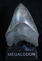 "High Quality 5.71"" Megalodon Tooth For Sale, #3923"