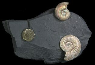 "Iridescent Ammonite Fossils Mounted In Shale - 6x3.8"" For Sale, #34583"