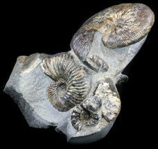 "5.8"" Tall Ammonite (Craspedodiscus) Cluster - Russia For Sale, #34679"