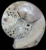 "Buy 6.9"" Polished Shloenbacchia Ammonite With Stone Base - #35311"
